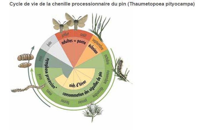 CYCLE DE LA CHENILLE PROCESSIONNAIRE